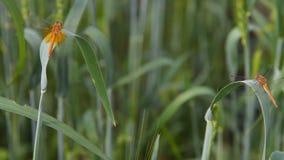 Dragonflies in wheat field stock video footage