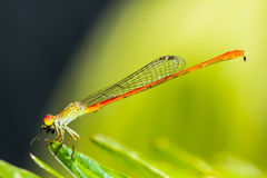 Dragonflies zdobycz Obrazy Stock
