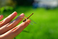 Dragonfly ���екоза interesting excited beauty color Royalty Free Stock Photography