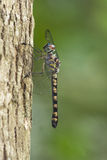 dragonfly żeński torrida tyriobapta obrazy royalty free