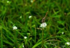 Dragonfly żniwa cukierki woda na białym kwiacie obrazy stock