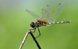 dragonfly баланса Стоковая Фотография