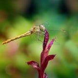 dragonfly большой Стоковое Фото