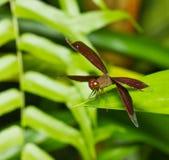 Dragonfly Брайна в парке Стоковая Фотография