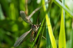 Dragonfly Брайна на проводе зеленой травы Стоковое Изображение RF