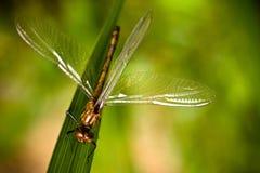 Dragonfly Брайна при распространенный крупный план крылов сидя на зеленых раскосных лист травы с интенсивной яркой ой-зелен предп стоковые фото