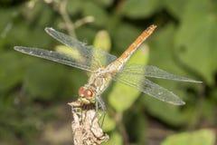 Dragonfly Брайна стоковые фото