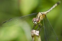 dragonfly ветви Стоковое фото RF