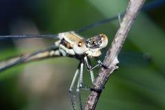dragonfly ветви Стоковое Фото
