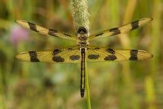 Dragonfly вымпела хеллоуина Стоковые Изображения RF