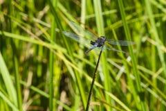 Dragonfly вымпела мужского Марты на подсказке Reed Стоковое фото RF
