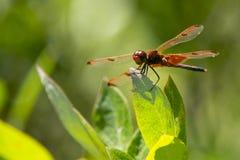 Dragonfly вымпела ситца на лист, крупном плане Стоковые Изображения RF