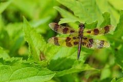 Dragonfly вымпела хеллоуина Стоковое фото RF