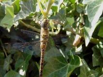 Dragonfly в ветерке сток-видео