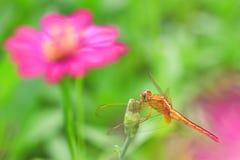 Dragonfly в деревянной предпосылке стоковое изображение