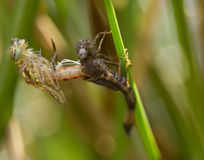 Dragonfly в макросе Стоковые Изображения