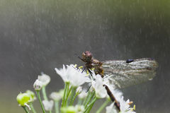 Dragonfly в дожде. стоковое изображение