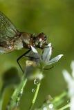 Dragonfly в дожде Стоковая Фотография RF