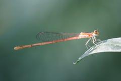 Dragonfly в парке в столице Стоковые Фото
