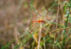 Dragonfly в поле зеленой травы Стоковые Фотографии RF
