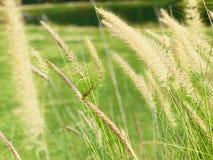 Dragonfly в поле травы стоковые фотографии rf