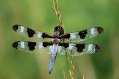 Dragonfly в поле Стоковая Фотография RF