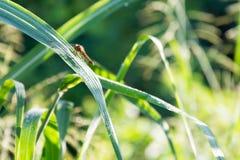 Dragonfly в поле Стоковые Фотографии RF