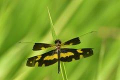 Dragonfly в предпосылке зеленого цвета природы Стоковая Фотография RF
