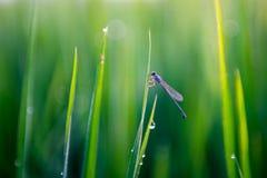 Dragonfly в рисовых полях Стоковые Изображения RF
