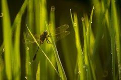 Dragonfly в рисовых полях Стоковая Фотография RF