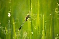 Dragonfly в рисовых полях Стоковое Изображение RF
