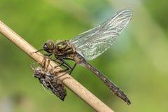 Dragonfly в среду обитания природы Стоковое Изображение