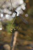 Dragonfly в Таиланде Стоковые Фото