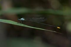 Dragonfly в Таиланде Стоковые Изображения RF