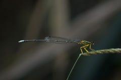 Dragonfly в Таиланде Стоковое фото RF