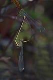Dragonfly в Таиланде Стоковое Изображение RF