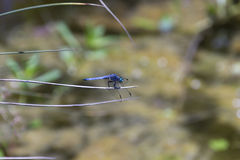 Dragonfly голубой змеешейки Стоковая Фотография