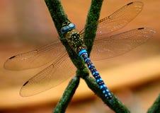 Dragonfly греясь в солнце Стоковое фото RF