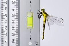 Dragonfly (западное Clubtail) любит уровень духа на правителе Стоковые Изображения RF
