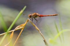 Dragonfly змеешейки женщины общий в великобританском лете Стоковое Фото