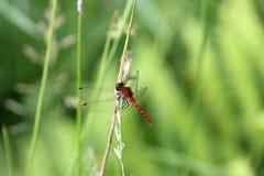 Dragonfly змеешейки шарлаха Стоковое Фото
