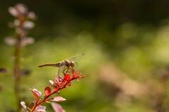 Dragonfly золота на лист барбариса Стоковое Изображение RF