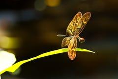 dragonfly золотистый стоковое изображение