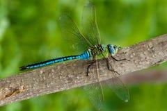 Dragonfly императора (мужчина) Стоковые Фотографии RF