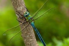 Dragonfly императора на ветви Стоковое фото RF