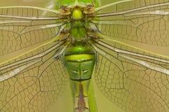 Dragonfly императора Стоковая Фотография