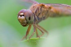 Dragonfly и белый цветок с зеленой предпосылкой стоковое фото