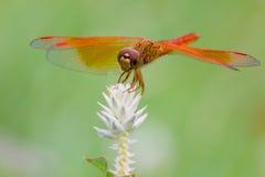 Dragonfly и белый цветок с зеленой предпосылкой стоковое фото rf