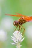 Dragonfly и белый цветок с зеленой предпосылкой Стоковые Фото