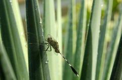 Dragonfly и роса утра Стоковые Фотографии RF